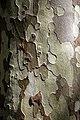 City of London Cemetery London plane tree trunk bark 1.jpg