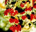 Cladonia cristatella f. (5).jpg