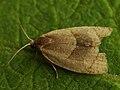 Clepsis rurinana (41299854041).jpg