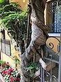 Climbing wisteria (Stresa, Italy).jpg
