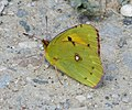 Clouded Yellow. Colias crocea (32251290882).jpg