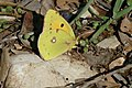 Clouded Yellow (Colias croceus) (31615134618).jpg