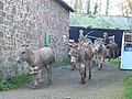Clovelly donkeys - geograph.org.uk - 1611802.jpg