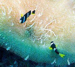 Clownfish-mileswu.jpg