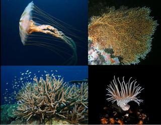 Cnidaria Aquatic animal phylum having cnydocytes