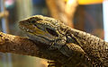 Coastal Bearded Dragon (3366597758).jpg