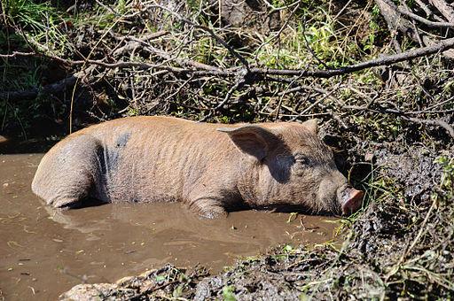 Cochon Corse-du-Sud