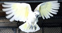 Cockatoo -flying -wings -captive-8a.jpg