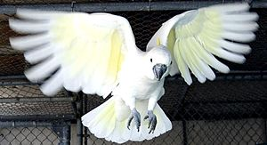 A captive Sulphur-crested Cockatoo flying