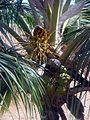 Coconut Palm Badami si1560.jpg
