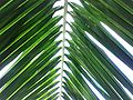Coconut palm leaf of the tree that grows in my miserly landlords house.jpg