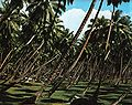Coconut plantation La Digue.jpg