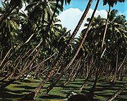 جوزالهند.------- 180px-Coconut_plantation_La_Digue