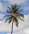 Coconut tree in Boa Vista, Cape Verde, December 2010 - 2 - jpg.jpg