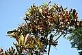 Codiaeum variegatum Red Tortulas 2zz.jpg