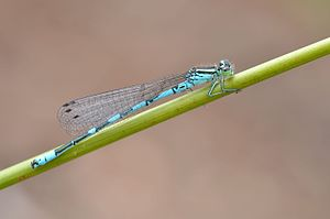 Coenagrion hastulatum male (5902337371).jpg