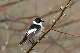 Collared flycatcher (Ficedula albicollis).jpg