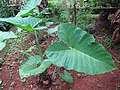 Colocasia - ചേമ്പ് 004.jpg