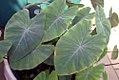 Colocasia esculenta Fontanesii 0zz.jpg