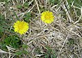 Coltsfoot - geograph.org.uk - 771251.jpg