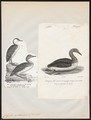 Colymbus septentrionalis - 1700-1880 - Print - Iconographia Zoologica - Special Collections University of Amsterdam - UBA01 IZ17800025.tif