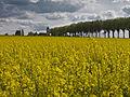 Colza route de Jouars (Yvelines)-2-cliche Jean Weber (23048006423).jpg
