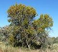 Combretum apiculatum, habitus, Steenbokpan, b.jpg