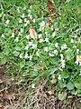 Common Dog Violet (Viola riviniana) - geograph.org.uk - 739554.jpg