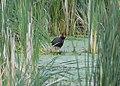 Common Gallinule (love birds nuzzling) (34226076263).jpg