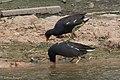 Common Gallinule Smith Oaks High Island TX 2018-03-27 10-44-22 (27188374408).jpg