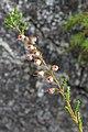 Common Heather (Calluna vulgaris) - Oslo, Norway 2020-09-02.jpg