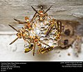 Common Paper Wasp - Polistes exclamans (34493832776).jpg