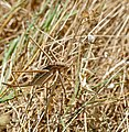 Common Predatory Bush-cricket (Saga pedo) (34968057944).jpg