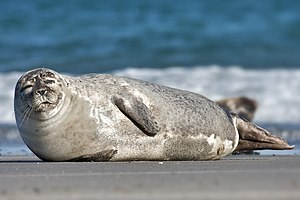 Harbor seal - Image: Common Seal Phoca vitulina