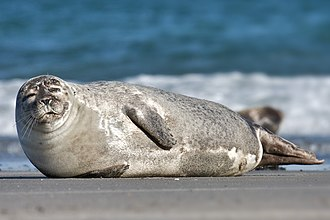 Harbor seal - Image: Common Seal Phoca vitulina