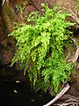 Common maidenhair (Adiantum capillus-veneris).jpg