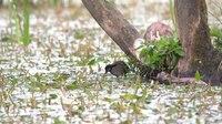 File:Common moorhen (Gallinula chloropus) and chick.webm