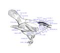 Componente corpului pasărilor.png