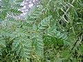 Conium maculatum leaf (10).jpg