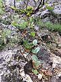 Conringia austriaca sl42.jpg