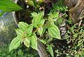 Conservatoire botanique national de Brest-Pilea cocottei-15 07 04-Philweb (19227520190).jpg