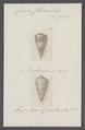Conus chenui - - Print - Iconographia Zoologica - Special Collections University of Amsterdam - UBAINV0274 087 01 0013.tif