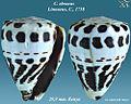 Conus ebraeus 2.jpg