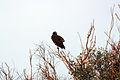 Cooper's Hawk (Accipiter cooperii).jpg