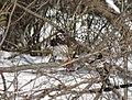 Cooper's hawk feeding on a blue jay 11.jpg