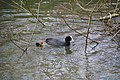 Coot with young - geograph.org.uk - 1801179.jpg