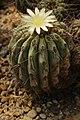 Copiapoa haseltoniana (27320508647).jpg