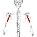 Coracobrachialis muscle10.png