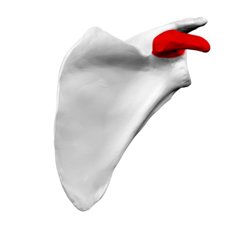 Coracoid process - Left scapula. Anterior view. Coracoid process shown in red.