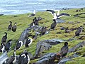 Cormorans - panoramio (1).jpg